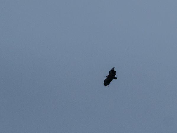 Griffon Vulture  - Marc Begert