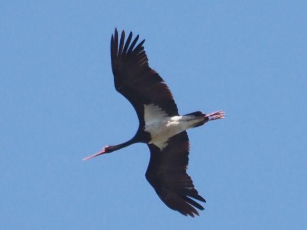 Black Stork  - Cornelia und Martin Conzelmann