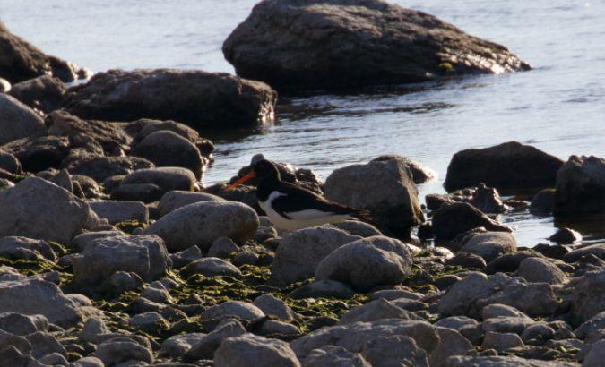 Eurasian Oystercatcher  - Adrian Gaberell