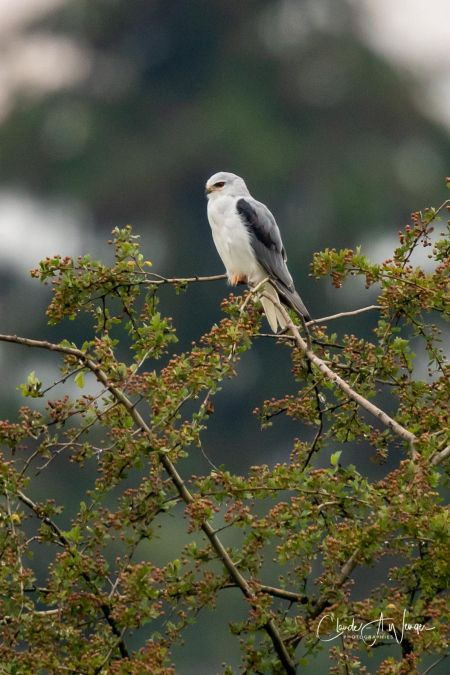 Black-winged Kite  - Claude-Alain Wenger