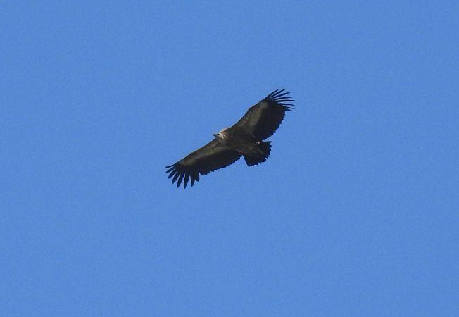 Griffon Vulture  - Erich Lüscher