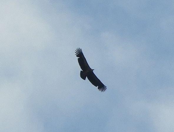 Griffon Vulture  - Christian Rixen