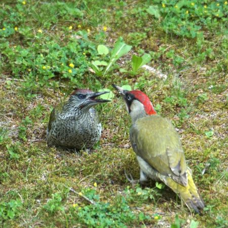 Eurasian Green Woodpecker  - Martina Marugg