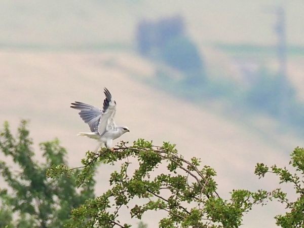 Black-winged Kite  - Daniel Gebauer