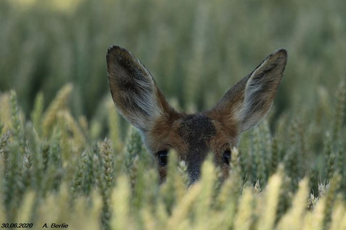 Roe Deer  - Berlie Arlette