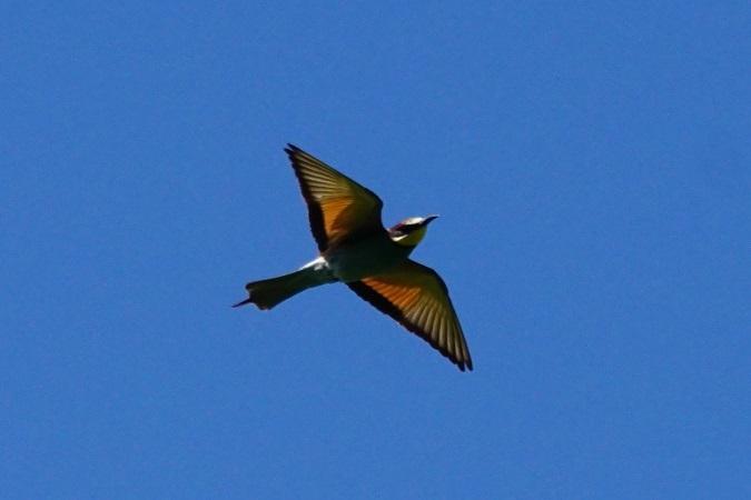European Bee-eater  - Markus Wyss