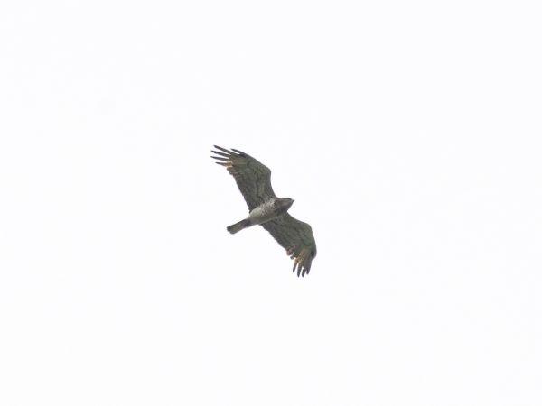 Short-toed Snake-eagle  - Gilbert Bianchi