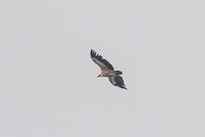 Griffon Vulture  - Gilbert Bianchi