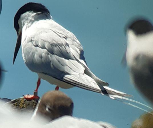 Roseate Tern  - América Croisier