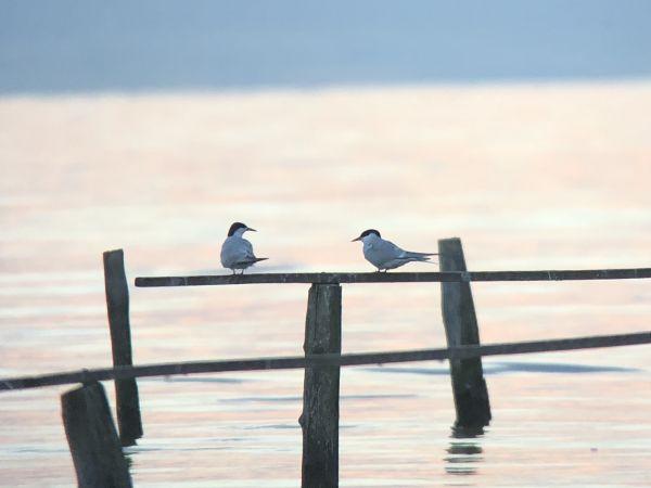 Arctic Tern  - Florian Blandenier