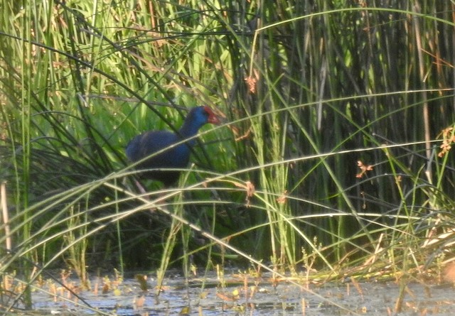 Purple Swamphen  - Jean-Claude Muriset
