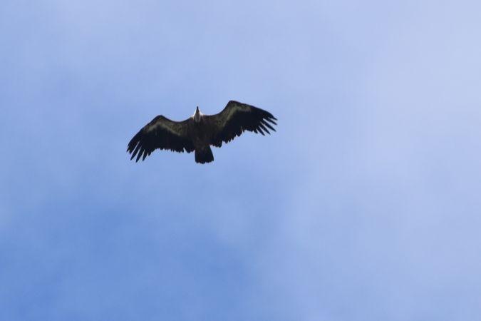 Griffon Vulture  - Nicolas Dunant