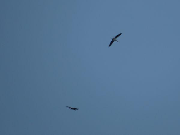 Black Stork  - Arthur Aigroz