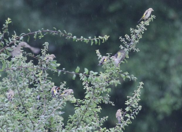 European Goldfinch  - Thomas Gorr