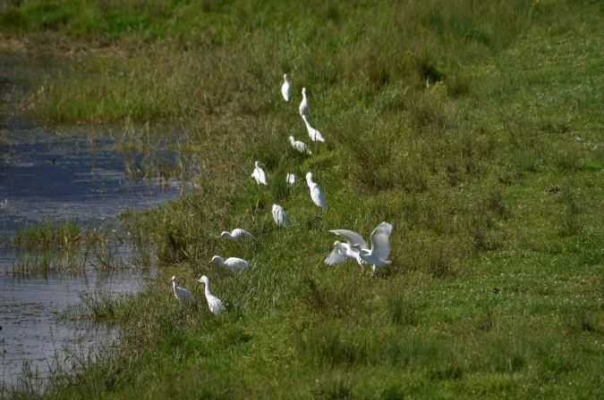 Cattle Egret  - Yannick Pochon