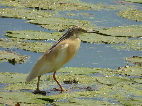 Squacco Heron  - Morgan Bonfanti
