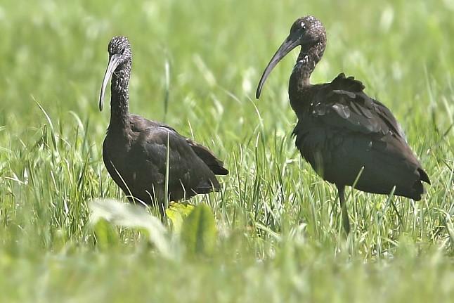 Glossy Ibis  - Samuel Betschart