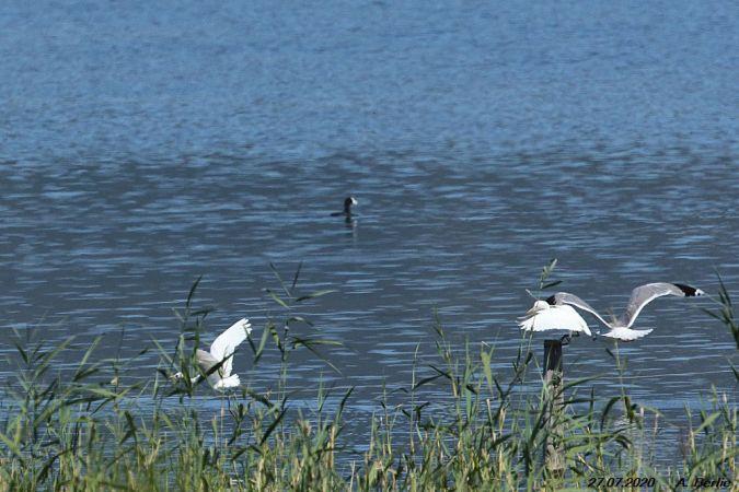 Cattle Egret  - Berlie Arlette