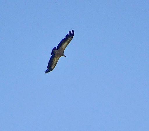 Griffon Vulture  - Christian Kaderli