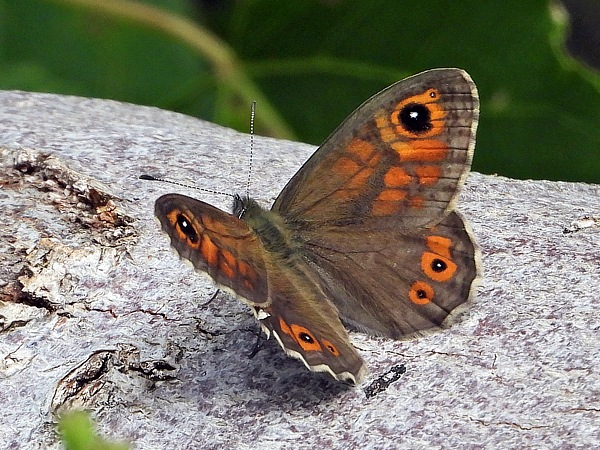 Large Wall Brown  - Jean-Claude Vuilleumier