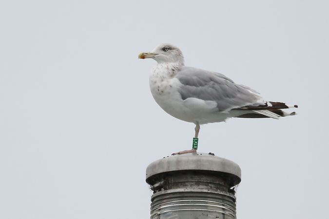 European Herring Gull  - Martin Zimmerli
