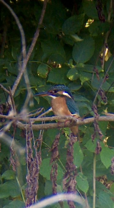 Common Kingfisher  - Thomas Watts