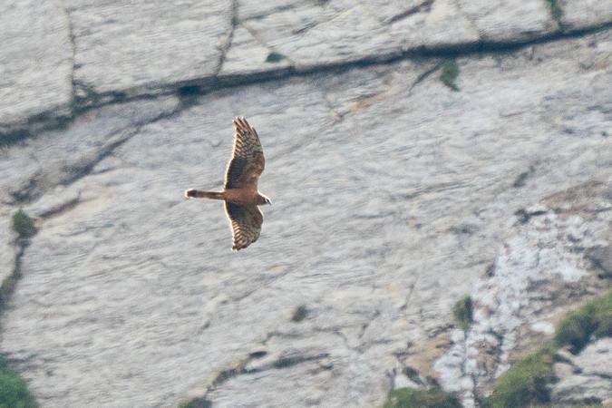 Montagu's Harrier  - Adrian Schmid