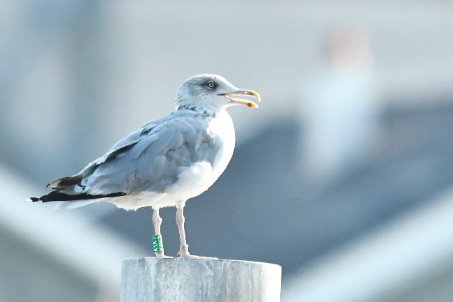 European Herring Gull  - Elias Biegger