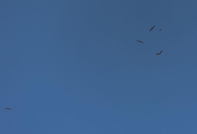Griffon Vulture  - Catherine Koeppel