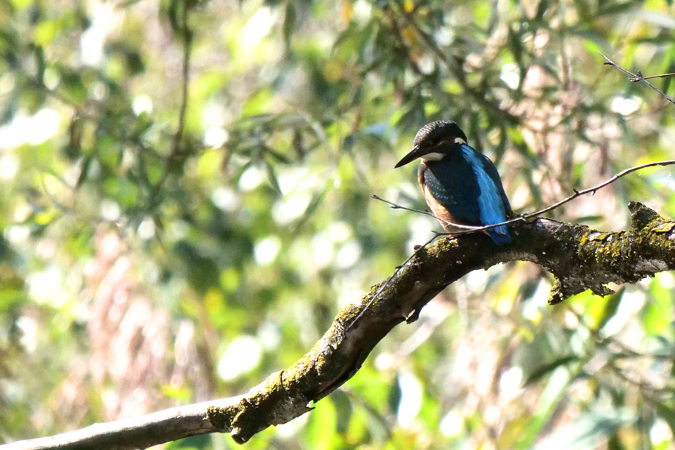 Common Kingfisher  - Heini Hefti