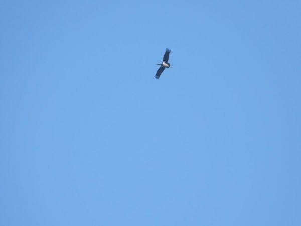 Black Stork  - Urs Wittwer