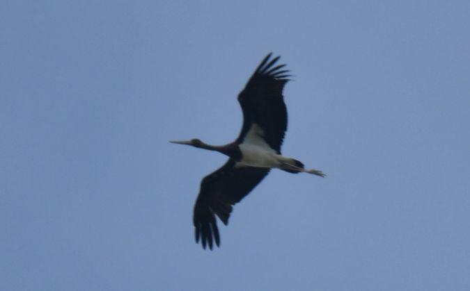 Black Stork  - Florent Berney