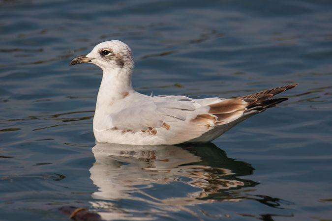 Mediterranean Gull  - Fritz Sigg