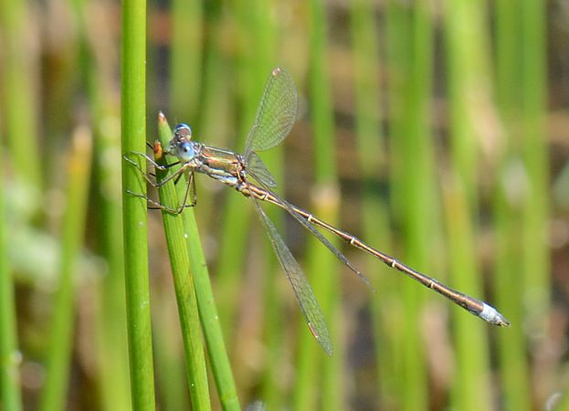 Small Spreadwing (L.v.vestalis)  - Urs Lustenberger