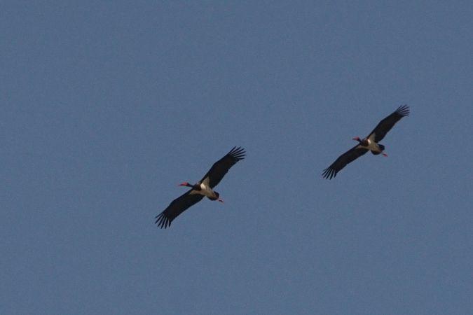 Black Stork  - Jean-Fred Zweiacker