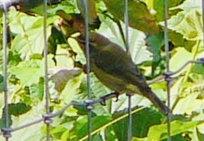 Greenish Warbler  - Anonymous