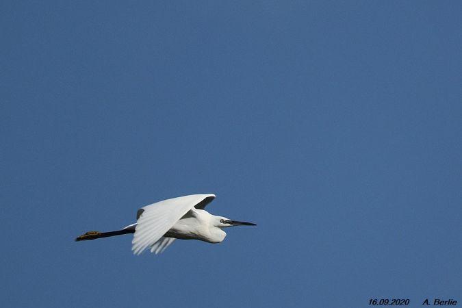 Little Egret  - Berlie Arlette