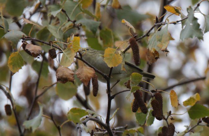 Yellow-browed Warbler  - Romain Dupraz
