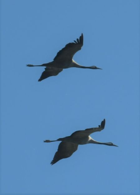 Common Crane  - Martin Kaufmann