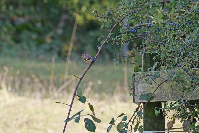 European Goldfinch  - Heini Hefti