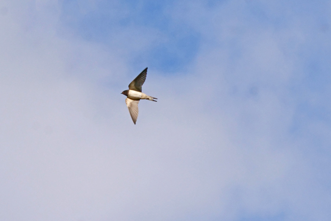 Barn Swallow  - Heini Hefti