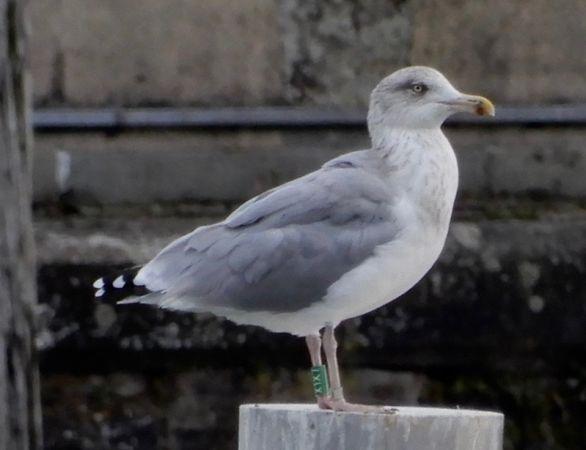 European Herring Gull  - Walter Leuthold