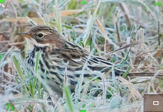 Red-throated Pipit  - Paul Walser Schwyzer