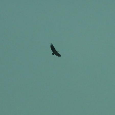 Griffon Vulture  - Alain Gut