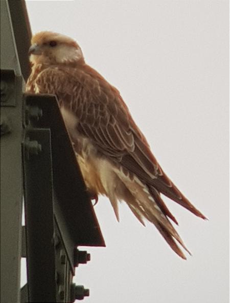 Saker Falcon  - Andreas Weiss