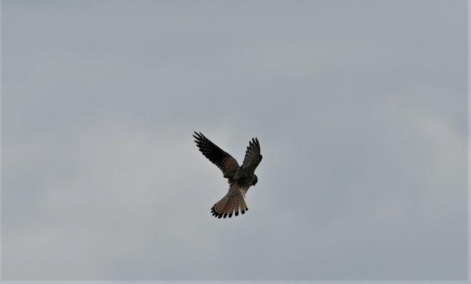 Faucon crécerelle  - Michel Turk