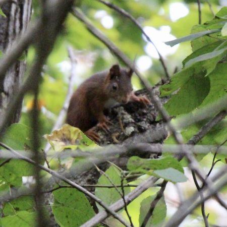 Eurasian Red Squirrel  - Mathias & Petra Herren
