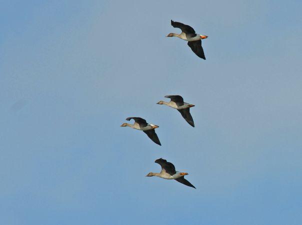 Bean Goose (A.f.rossicus)  - Nicolas Kaiser