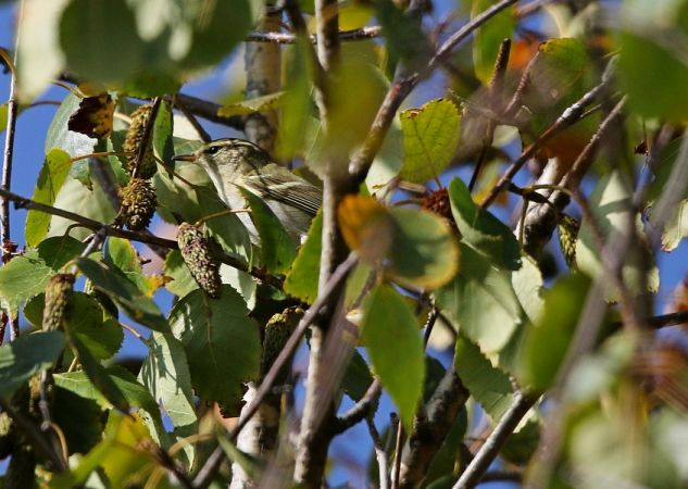 Yellow-browed Warbler  - Christian Huber