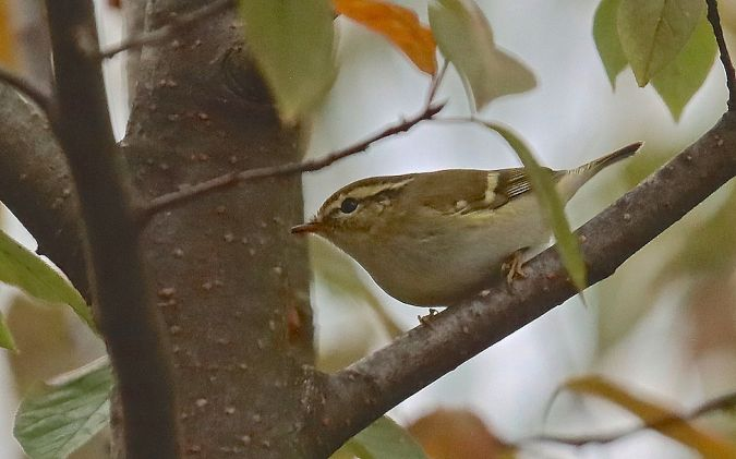 Yellow-browed Warbler  - Willy Daeppen